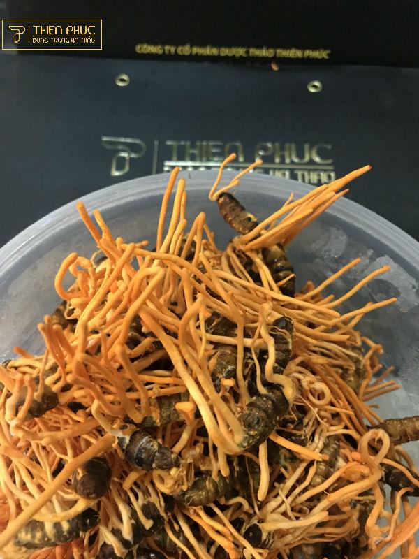 Đông trùng hạ thảo Quảng Ngãi