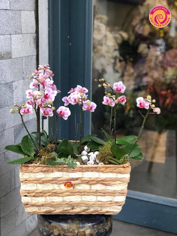 Lan hồ điệp mini – Trao hoa trao cả tâm tình