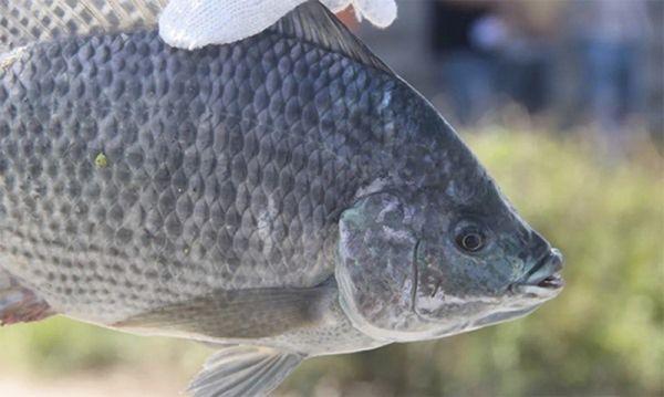 Cần lưu ý gì khi nuôi trồng cá rô phi Bảo Lộc?