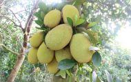 Cảnh báo nông dân ồ ạt trồng mít Thái